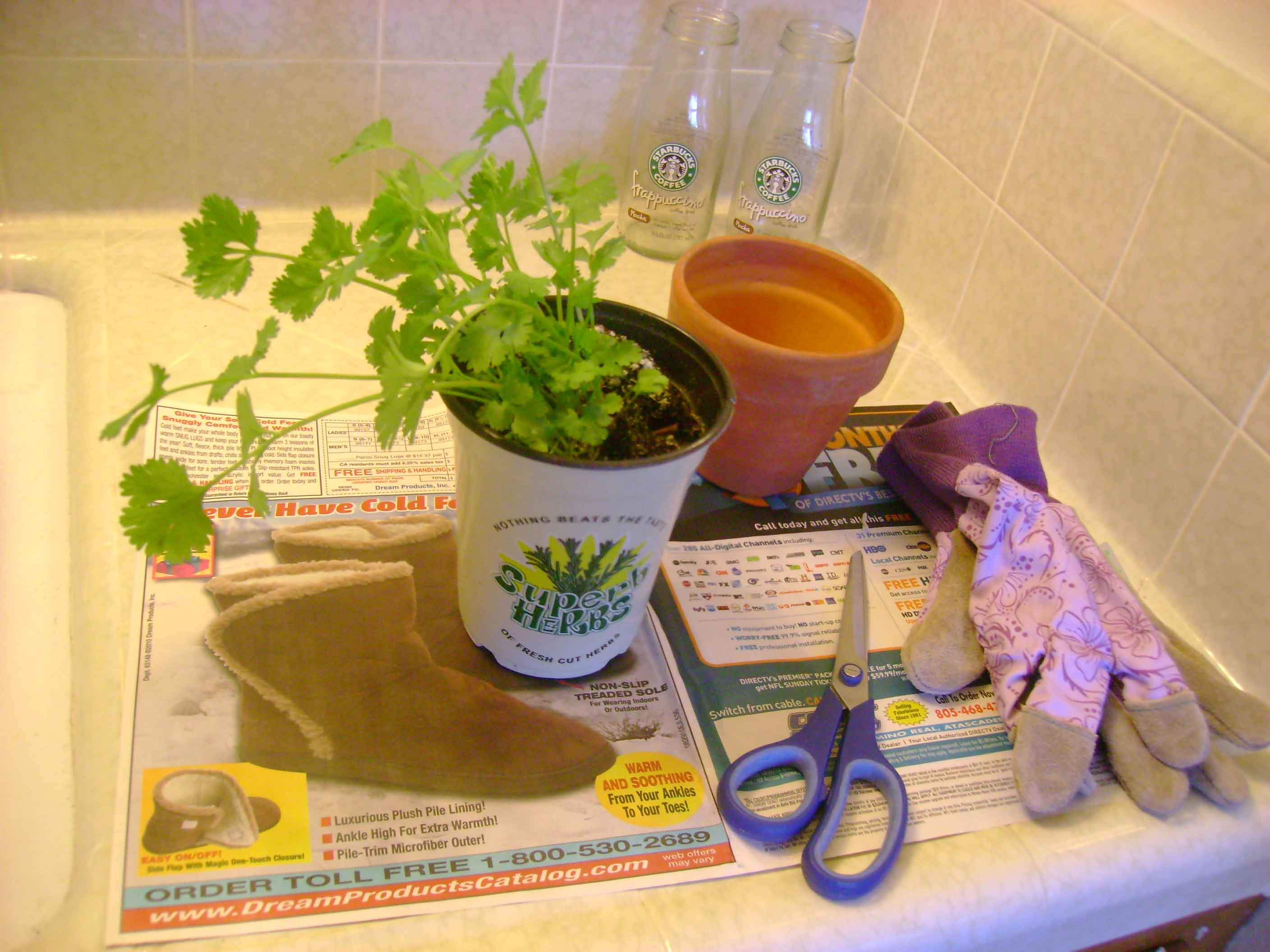 Grow Cilantro In Small Plastic Glass