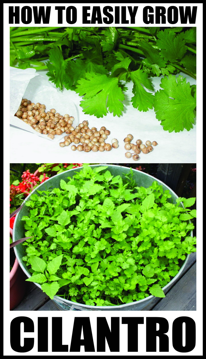 How To Easily Grow Cilantro (View 8 of 10)