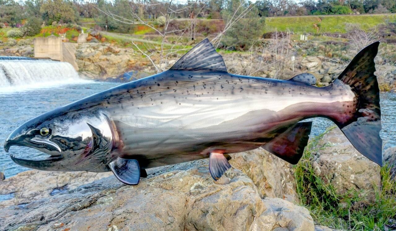 36 Stainless Steel Salmon Sculpture Fish Art Fly Regarding Stainless Steel Fish Wall Art (View 10 of 20)
