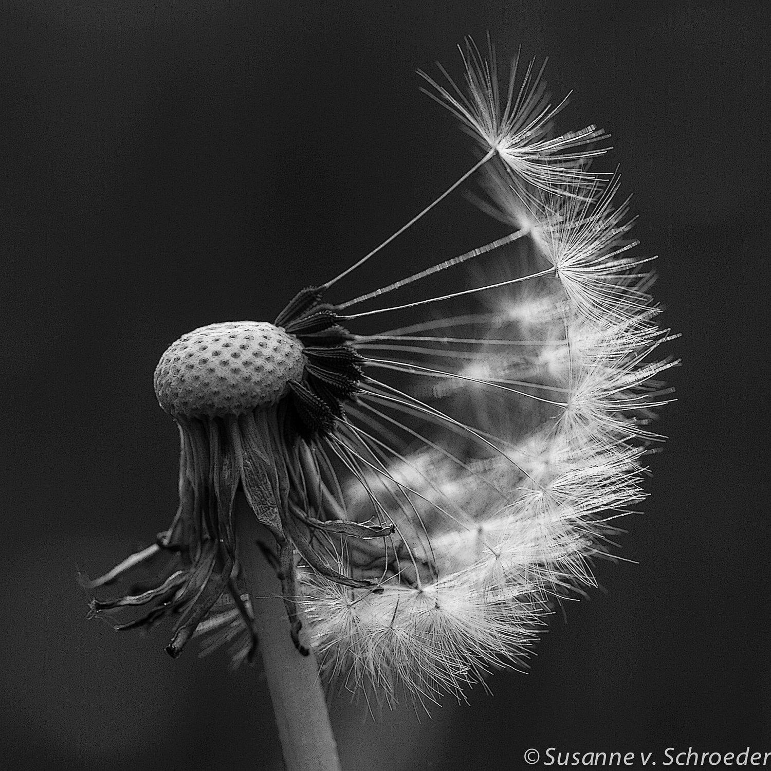 Black & White Photography Dandelion Wall Art Set Of 4 Square In Black And White Wall Art Sets (Image 3 of 20)