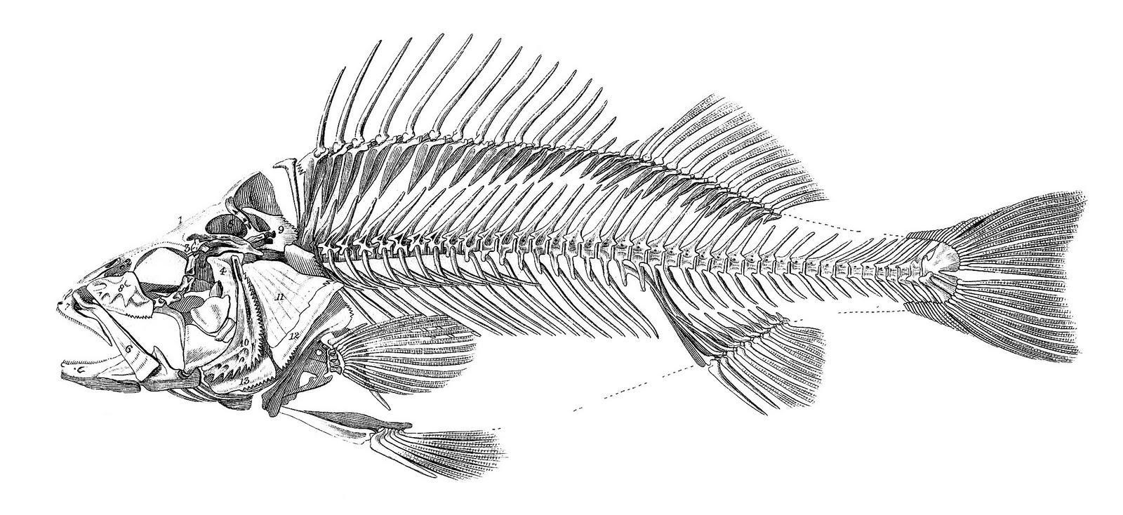 Fish Bones | Free Download Clip Art | Free Clip Art | On Clipart Regarding Fish Bone Wall Art (Image 13 of 20)