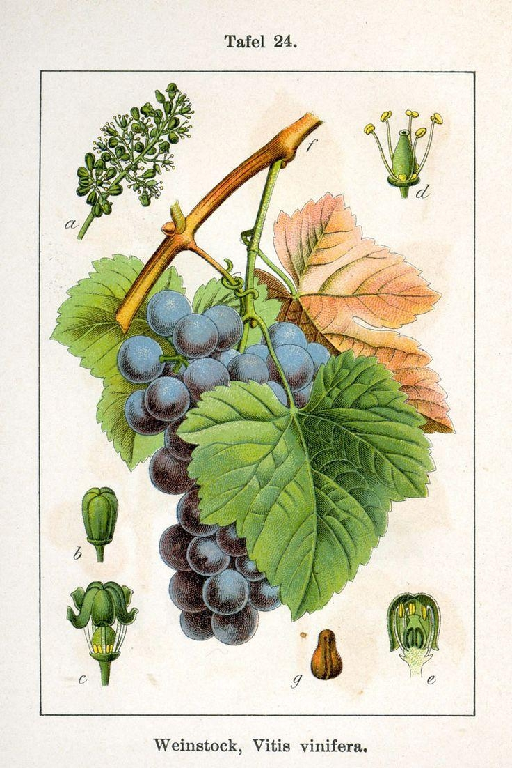 145 Best Grapes Images On Pinterest | Paintings, Wines And Wine Art Inside Grape Colour Wall Art (Image 3 of 20)