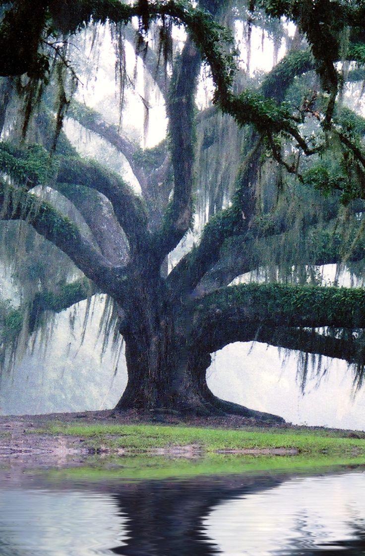 Best 25+ Oak Tree Ideas On Pinterest | Big Tree, Angel Oak Trees In Live Oak Tree Wall Art (View 17 of 20)