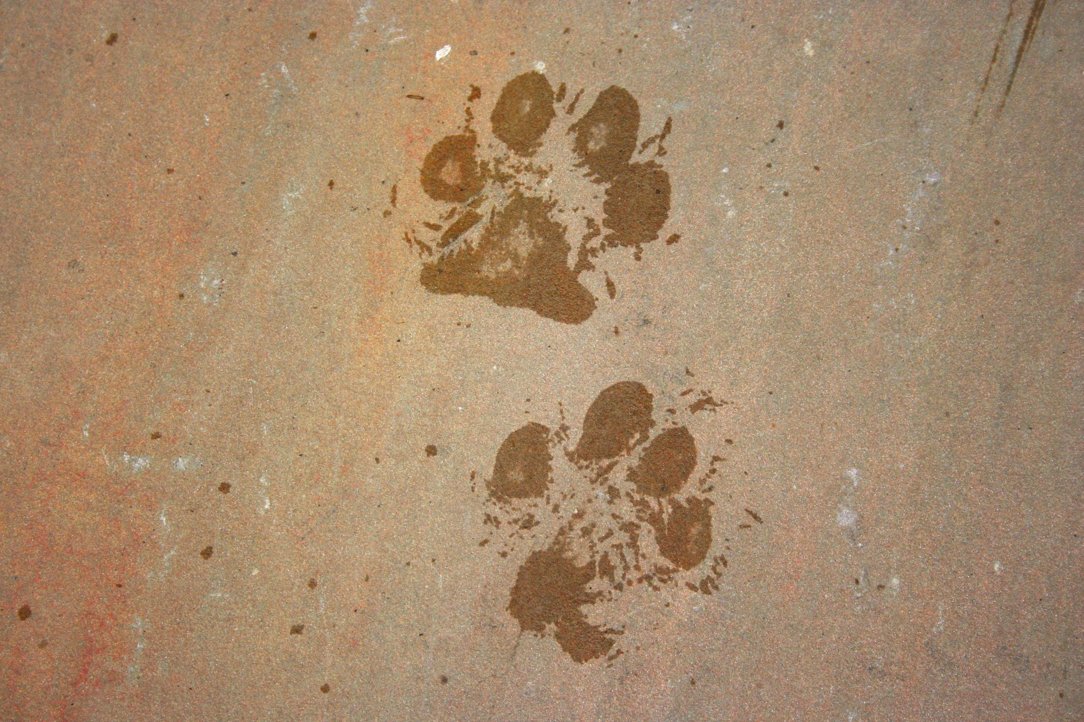 Free Images : Sand, Wood, Trail, Texture, Floor, Footprint, Dog Within Footprints In The Sand Wall Art (Image 15 of 20)