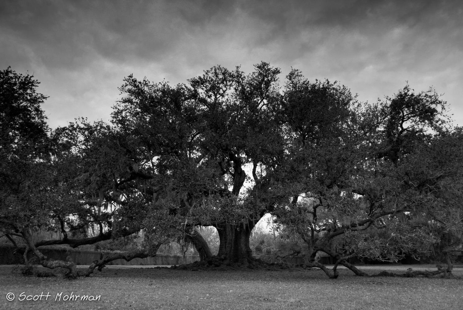New Orleans Photography Tree Of Life Large Canvas Black And For Live Oak Tree Wall Art (Image 18 of 20)