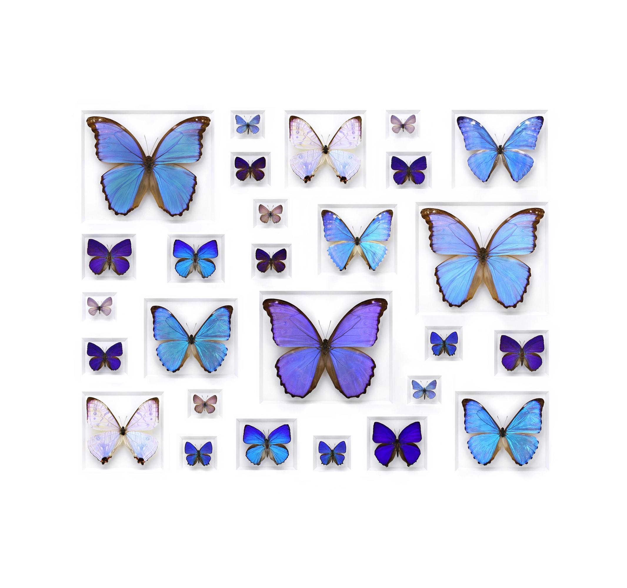 Pheromone Design | Christopher Marley Studio Throughout 3D Butterfly Framed Wall Art (Image 16 of 20)