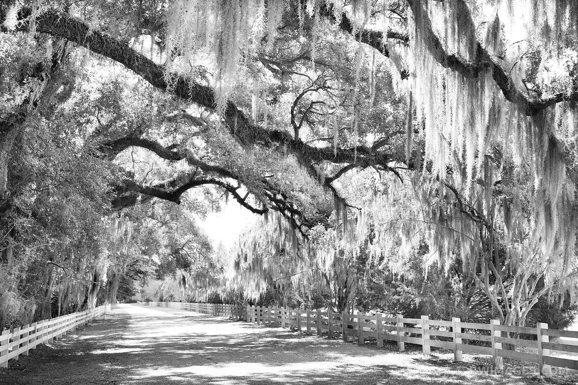 Photo Print Of Country Road Live Oak Spanish Moss Rosedown Intended For Live Oak Tree Wall Art (Image 20 of 20)