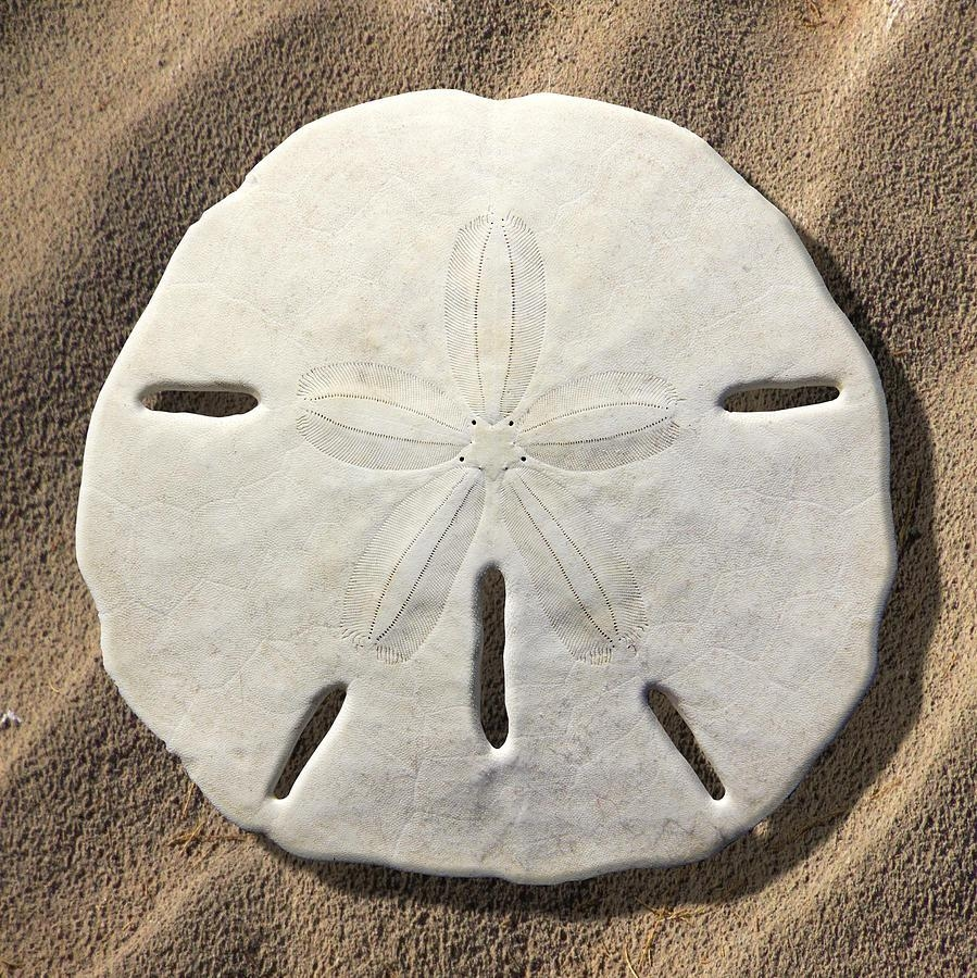 Sand Dollar Photographmike Mcglothlen With Regard To Sand Dollar Wall Art (Image 9 of 20)