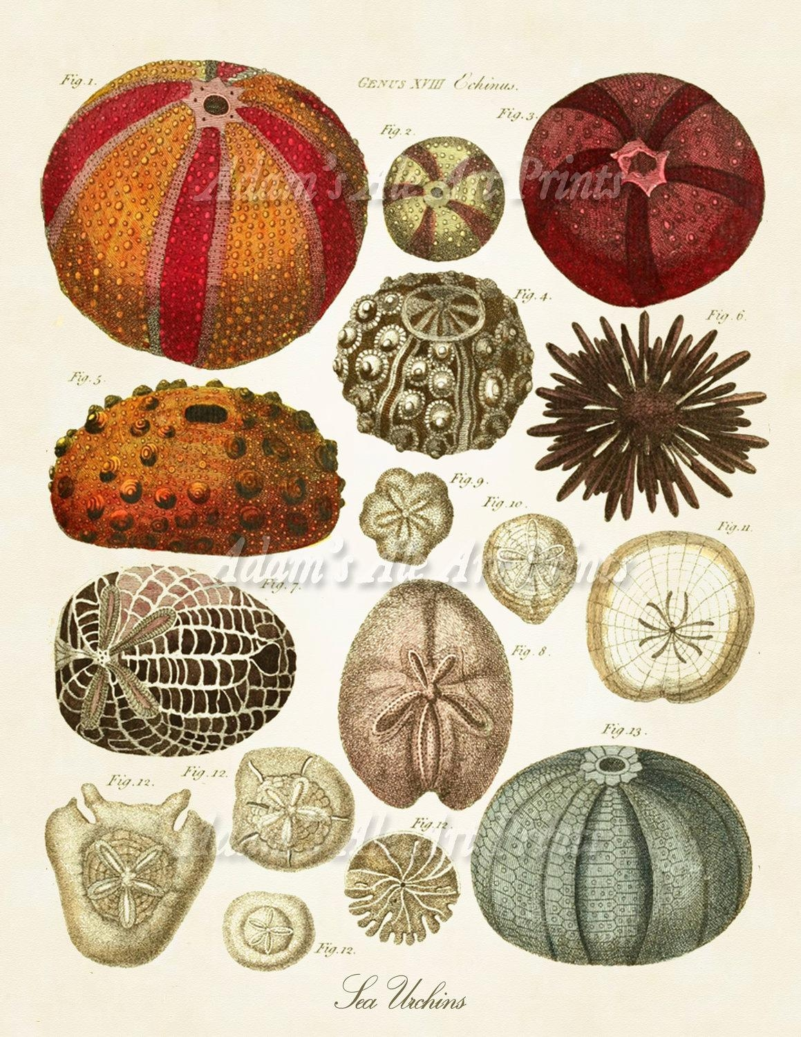 Sea Urchins Print Beach Shells In Warm Tones Beach Wall Art With Seashell Prints Wall Art (View 8 of 20)
