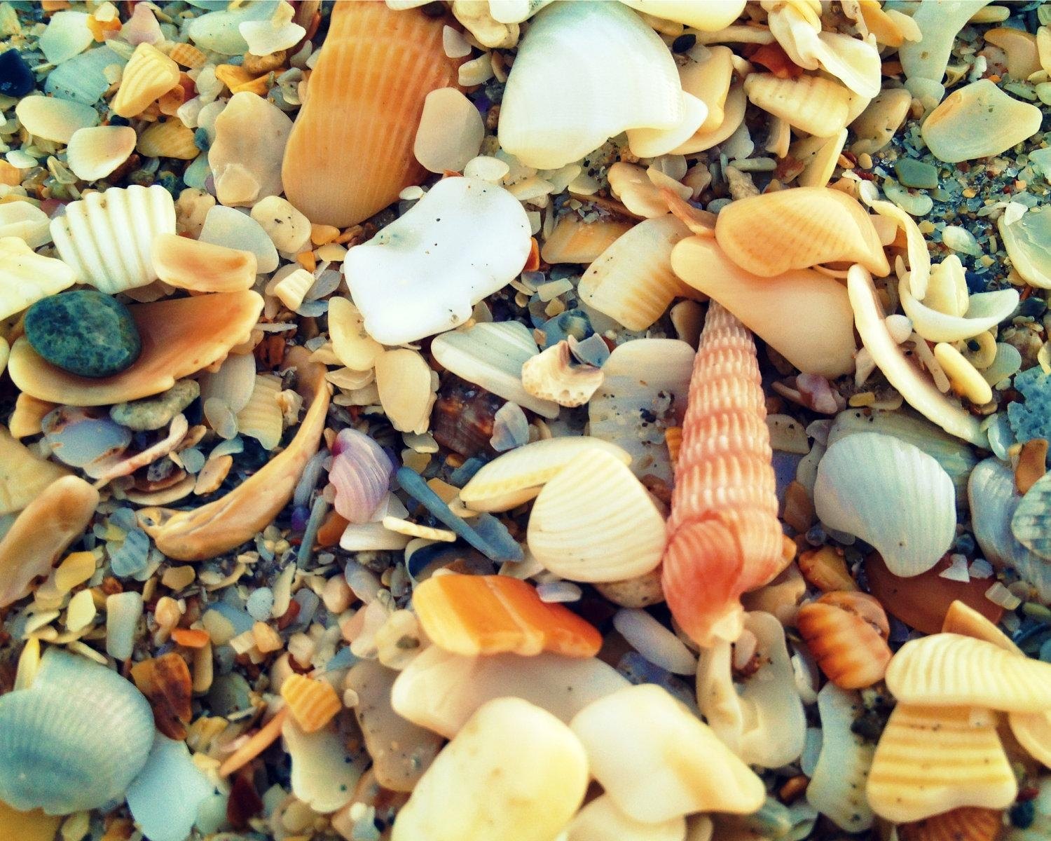 Seashell Print Coastal Wall Decor Seashell Art Beach Throughout Seashell Prints Wall Art (View 20 of 20)