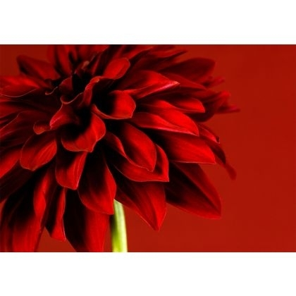 Graham & Brown Red Dahlia Wall Art (Image 6 of 15)
