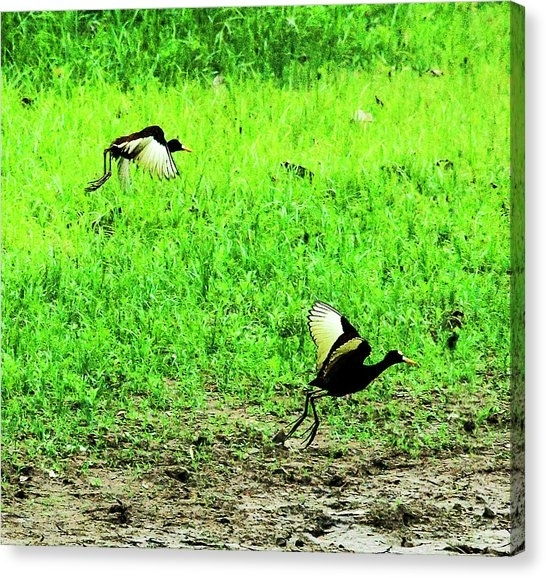 Northern Jacana Canvas Prints | Fine Art America For Jacana Canvas Wall Art (View 15 of 15)