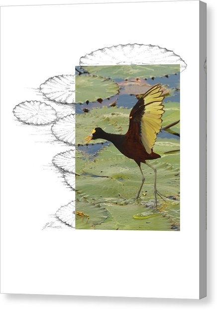 Northern Jacana Canvas Prints | Fine Art America For Jacana Canvas Wall Art (View 7 of 15)