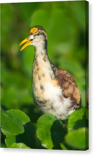 Northern Jacana Canvas Prints | Fine Art America Inside Jacana Canvas Wall Art (View 6 of 15)
