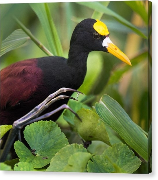 Northern Jacana Canvas Prints | Fine Art America Pertaining To Jacana Canvas Wall Art (View 2 of 15)