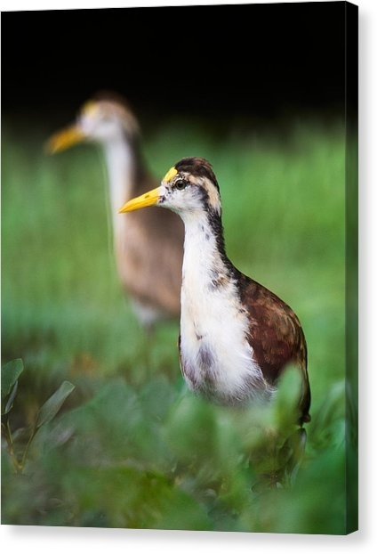 Northern Jacana Canvas Prints | Fine Art America Throughout Jacana Canvas Wall Art (View 4 of 15)