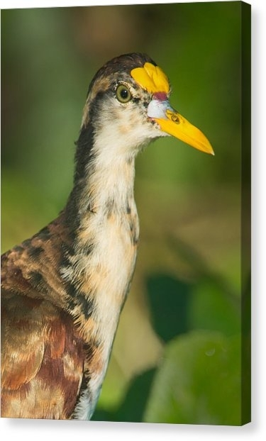 Northern Jacana Canvas Prints | Fine Art America Within Jacana Canvas Wall Art (View 8 of 15)