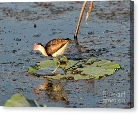 Northern Jacana Canvas Prints | Fine Art America Within Jacana Canvas Wall Art (View 5 of 15)