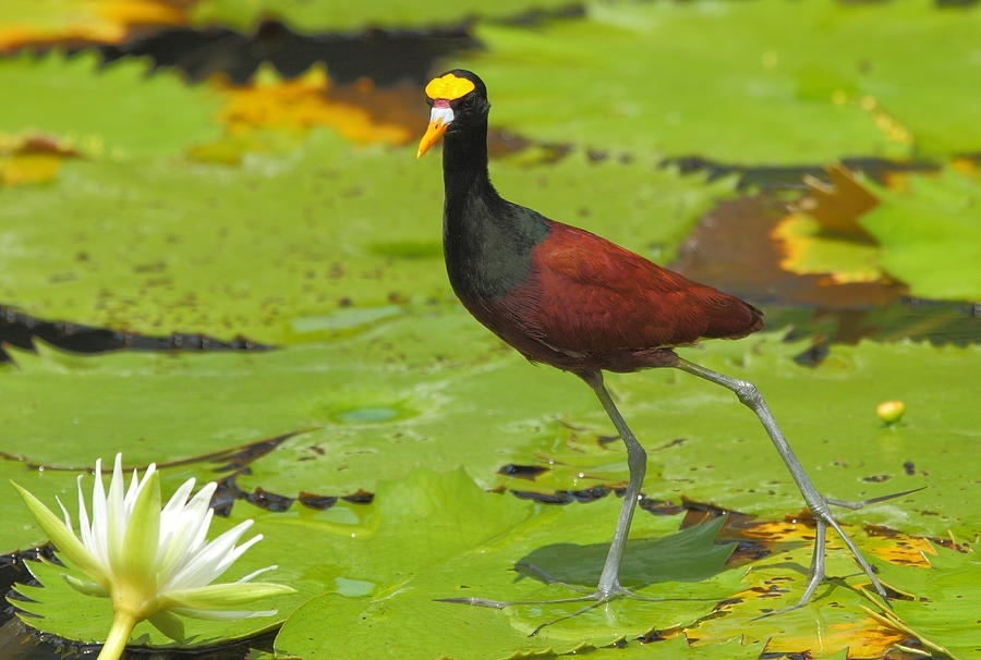 Northern Jacana Photographandrew Mcinnes For Jacana Canvas Wall Art (View 3 of 15)