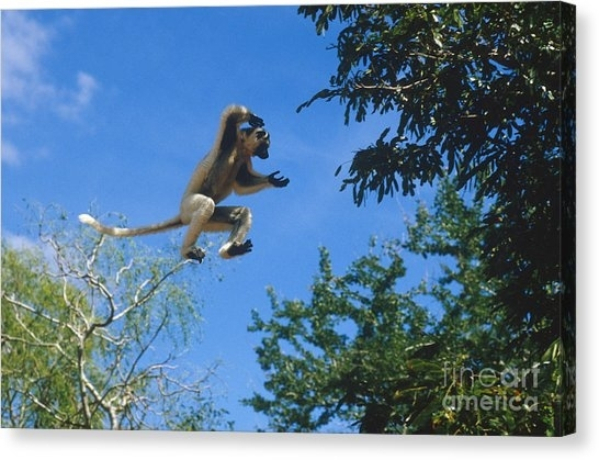 Verreaux Sifaka Canvas Prints (Page #2 Of 4) | Fine Art America Within Jacana Canvas Wall Art (View 9 of 15)