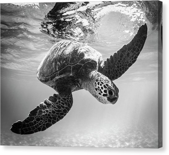 Black And White Turtle Canvas Prints | Fine Art America For Sea Turtle Canvas Wall Art (View 9 of 25)