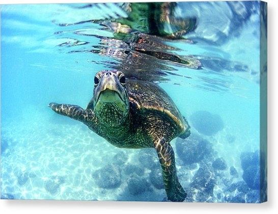 Hawaiian Sea Turtle Canvas Prints | Fine Art America Within Sea Turtle Canvas Wall Art (View 16 of 25)