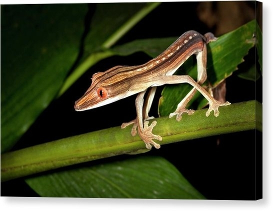 Leaf Tailed Gecko Canvas Prints | Pixels With Regard To Gecko Canvas Wall Art (View 16 of 20)