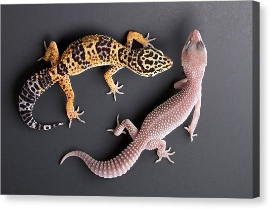Leopard Gecko Canvas Prints | Fine Art America Regarding Gecko Canvas Wall Art (View 7 of 20)