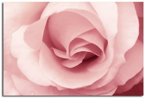 Soft Pink Rose Canvas Wall Art Print 30X20 A1 76X52Cm In Pink Wall Art (View 19 of 25)