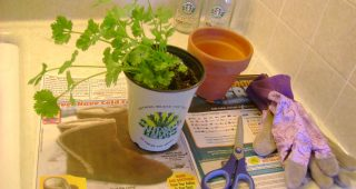 How to Grow Cilantro in Soil or in Pot